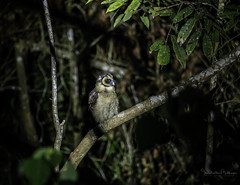 20190623-1DX27735 (siddharthx) Tags: bird canon birding birdwatching bukitfraser badlight 2019 closerange beautifulbirds birdsinthewild bwcpl birdinginthewild canon7dmkii bishopstrail canon1dxmkii 1dxmkii cottoncarrierg3 abusuraditrail congkakhululangat bukitfraserbirdwatchingrace forest dawn lowlight rainforest hide malaysia pahang goldenhour selangor pristine hides frasershill my pinetreetrail sachtler kesslercrane kindersleytrail dawntilldusk hemmanttrail maxwelltrail ef1635f4lis ef100400mmf4556lisiiusm ef100400f4556isii june2019 promediageartr424lpmgprostix kesslerkwik promediagearkatanajr rompintrail lamppost88lanchang sungaiconkak sunset wild sunrise trek wildlife naturephotography wildbirds weekendtrips wildlifephotography animalfanatics wildlifeinspired wildlifeperfection wildlifeseekers wildlifecaptures tamron150600mmf563divcusdg2 wildlifecentral wimberleylensplates owl brownwoodowl woodowl
