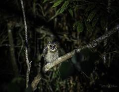 20190623-1DX27624 (siddharthx) Tags: bird canon birding birdwatching bukitfraser badlight 2019 closerange beautifulbirds birdsinthewild bwcpl birdinginthewild canon7dmkii bishopstrail canon1dxmkii 1dxmkii cottoncarrierg3 abusuraditrail congkakhululangat bukitfraserbirdwatchingrace forest dawn lowlight rainforest hide malaysia pahang goldenhour selangor pristine hides frasershill my pinetreetrail sachtler kesslercrane kindersleytrail dawntilldusk hemmanttrail maxwelltrail ef1635f4lis ef100400mmf4556lisiiusm ef100400f4556isii june2019 promediageartr424lpmgprostix kesslerkwik promediagearkatanajr rompintrail lamppost88lanchang sungaiconkak sunset wild sunrise trek wildlife naturephotography wildbirds weekendtrips wildlifephotography animalfanatics wildlifeinspired wildlifeperfection wildlifeseekers wildlifecaptures tamron150600mmf563divcusdg2 wildlifecentral wimberleylensplates owl brownwoodowl woodowl