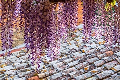 Wisteria in Bloom at Fonte Bertusi, Pienza, Italy (sharon.verkuilen) Tags: italy tuscany sonya7rii