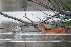 AfterTheJump (jmishefske) Tags: greenfield nikon water fawn doe milwaukee pond june lagoon westallis swimming wisconsin wildlife whitetail park d500 2019 deer county