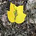 Tulip Tree Leafminer Damage