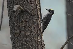 Black-backed Woodpecker (featherweight2009) Tags: blackbackedwoodpecker picoidesarcticus arctickthreetoedwoodpecker woodpeckers birds