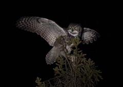 Night Predator (gainesp2003) Tags: great horned owl snowshoe hare alaska