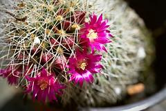Mammillaria spinosissima ssp. pilcayensis (gemhunter178) Tags: mammillaria cactus cacti flowers flower