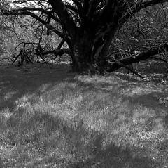Rancho San Antonio Preserve (bingley0522) Tags: hasselblad500cm carlzeissplanar80mmf28 tmax400 epsonv500scanner hc110h ranchosanantonio lateafternoonsun cupertino california autaut