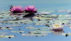 Nénuphars (Raymonde Contensous) Tags: nénuphars fleurs eau nature villeneuvelagarenne hautsdeseine iledefrance etang lestilliers parcdeschantereines fabuleuse