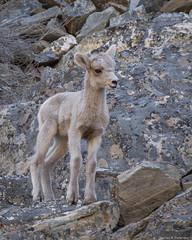 Bighorn Lamb #2 - Idaho (petechar) Tags: charlesrpeterson petechar animal wildlife mammalia artiodactyla bovidae oviscanadensis bighornsheep panthercreek salmonchallisnationalforest lemhicounty idaho panasonic14140mm panasonicgx9 lamb