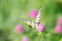 Eye to eye (Inka56) Tags: butterfly clover meadow grass wings wildflowers flower insect wildlife nature macro