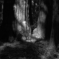 Light (bingley0522) Tags: hasselblad500cm carlzeissplanar80mmf28 tmax400 hc110h epsonv500scanner redwoods sammcdonaldcountypark sanmateocounty california californialandscape autaut light forest