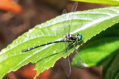 Variable Tigertail (Eusynthemis aurolineata) (Geoffrey Walker) Tags: variabletigertail tigertail eusynthemisaurolineata dragonfly insect nature leaf