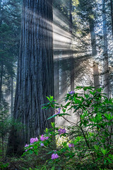 Trifecta (Kirk Lougheed) Tags: california damnationcreektrail delnortecoastredwoods delnortecoastredwoodsstatepark delnortecounty sequoiasempervirens usa unitedstates coastredwood coastalredwood crepuscularrays flower forest landscape outdoor redwood rhododendron sky spring sunbeam tree