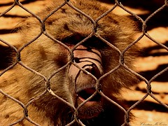 Imprisoned monkey (national geographic) (christianhon268) Tags: monkey zoo animal wild cage photography love 2019 2018 beast nature cannon lens flikr professional theloveforphotographyart for art like comment popular hd wallpaper sx400is beautiful imprisoned earth monkeys fence life photo photographer africa cannonsx400ispowershot outside