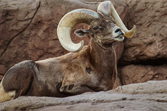 Desert Bighorn Ram (Stephen G Nelson) Tags: desert bighorn sheep ram tucson arizona oviscanadensis canoneosrebelsl1100d