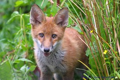 Hot In The City...... (law_keven) Tags: fox foxes redfox foxcub catford london england wildlife wildlifephotography photography