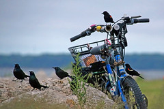 The Birds (marylee.agnew) Tags: bike birds alfred hitchcock grackles redwing black nature flock dark