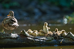 Wake up! (Adam Wang) Tags: mallard duck bird waterfowl duckling wildlife nature