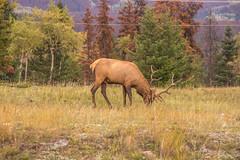 Rocky Mountain Elk (www78) Tags: canada jasper nationalpark national park rocky mountain elk alberta