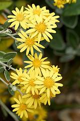 Senecio flowers (Lord V) Tags: flower senecio