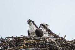 Osprey (Peter Stahl Photography) Tags: osprey nesting birdofprey
