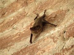 the bat (explore) (DOLCEVITALUX) Tags: bat canonpowershotsx50hs mammals philippines