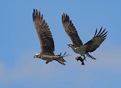 Osprey Enemies (kpitts5757) Tags: osprey predator columbiariver oregon oregonwildlife riverlife fishing