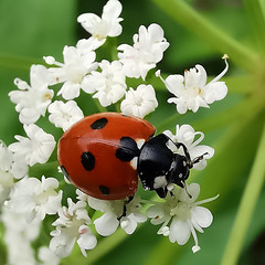 nyckelpiga p30pro (Håkan Jylhä (Thanks for +900.000 views)) Tags: håkan jylhä sweden sverige huawei p30pro close closeup närbild macro ladybug