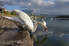 Narcisse (Sam Photos with Sony native jpeg) Tags: cygnes lyon swan swans cygne river france couple rhône quai