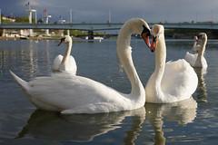 Couple de Cygnes - Couple of Swan (Sam Photos with Sony native jpeg) Tags: cygnes lyon swan swans cygne river france couple rhône quai