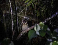 20190623-1DX27580 (siddharthx) Tags: bird canon dawn birding birdwatching bukitfraser badlight 2019 beautifulbirds birdsinthewild birdinginthewild dawntilldusk canon7dmkii bishopstrail ef1635f4lis ef100400mmf4556lisiiusm ef100400f4556isii canon1dxmkii 1dxmkii cottoncarrierg3 abusuraditrail congkakhululangat bukitfraserbirdwatchingrace forest lowlight malaysia pahang goldenhour pristine hides frasershill my pinetreetrail kesslercrane kindersleytrail hemmanttrail maxwelltrail june2019 kesslerkwik wild sunrise trek rainforest wildlife selangor naturephotography wildbirds weekendtrips wildlifephotography sachtler animalfanatics wildlifeseekers wildlifecaptures tamron150600mmf563divcusdg2 promediageartr424lpmgprostix wildlifecentral promediagearkatanajr rompintrail wimberleylensplates sungaiconkak brownwoodowl woodowl owl