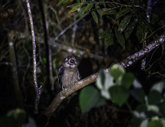 20190623-1DX27574 (siddharthx) Tags: bird canon dawn birding birdwatching bukitfraser badlight 2019 beautifulbirds birdsinthewild birdinginthewild dawntilldusk canon7dmkii bishopstrail ef100400mmf4556lisiiusm ef100400f4556isii canon1dxmkii 1dxmkii cottoncarrierg3 abusuraditrail congkakhululangat bukitfraserbirdwatchingrace forest lowlight malaysia pahang goldenhour hides frasershill my pinetreetrail kesslercrane kindersleytrail hemmanttrail maxwelltrail ef1635f4lis june2019 kesslerkwik wild sunrise trek rainforest wildlife selangor naturephotography pristine wildbirds weekendtrips wildlifephotography sachtler animalfanatics wildlifeseekers wildlifecaptures tamron150600mmf563divcusdg2 promediageartr424lpmgprostix wildlifecentral promediagearkatanajr rompintrail wimberleylensplates sungaiconkak owl brownwoodowl woodowl