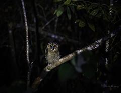 20190622-1DX27555 (siddharthx) Tags: bird canon dawn birding birdwatching bukitfraser badlight 2019 beautifulbirds birdsinthewild birdinginthewild dawntilldusk canon7dmkii bishopstrail ef100400f4556isii canon1dxmkii 1dxmkii cottoncarrierg3 abusuraditrail congkakhululangat bukitfraserbirdwatchingrace forest lowlight malaysia pahang goldenhour hides frasershill my pinetreetrail kesslercrane kindersleytrail hemmanttrail maxwelltrail ef1635f4lis ef100400mmf4556lisiiusm june2019 kesslerkwik wild sunrise trek rainforest wildlife selangor naturephotography pristine wildbirds weekendtrips wildlifephotography sachtler animalfanatics wildlifeseekers wildlifecaptures tamron150600mmf563divcusdg2 promediageartr424lpmgprostix wildlifecentral promediagearkatanajr rompintrail wimberleylensplates sungaiconkak owl brownwoodowl woodowl