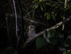 20190622-1DX27544 (siddharthx) Tags: bird canon dawn birding birdwatching bukitfraser badlight 2019 beautifulbirds birdsinthewild birdinginthewild dawntilldusk canon7dmkii bishopstrail ef100400mmf4556lisiiusm ef100400f4556isii canon1dxmkii 1dxmkii cottoncarrierg3 abusuraditrail congkakhululangat bukitfraserbirdwatchingrace forest lowlight malaysia pahang goldenhour hides frasershill my pinetreetrail kesslercrane kindersleytrail hemmanttrail maxwelltrail ef1635f4lis june2019 kesslerkwik wild sunrise trek rainforest wildlife selangor naturephotography pristine wildbirds weekendtrips wildlifephotography sachtler animalfanatics wildlifeseekers wildlifecaptures tamron150600mmf563divcusdg2 promediageartr424lpmgprostix wildlifecentral promediagearkatanajr rompintrail wimberleylensplates sungaiconkak owl brownwoodowl woodowl