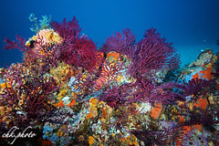 Colourful coralgarden in France (chk.photo) Tags: ocean light fish nature water animal landscape underwater outdoor ngc natur dive fisch landschaft tauchen naturewatcher naturemasterclass france frankreich meer flickr scuba diving tier sainttropez coralgarden flickrtravellaward