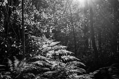 The sun breaks through (OzzRod) Tags: sony a7rii smcpentaxm35mmf28 forest backlight sun beams monochrome blackandwhite intothesun yuelarbah glenrock newcastle bushland