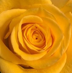 Yellow rose (markshephard800) Tags: gelb jaune yellow flores bloemen blumen fiori fleurs flowers flora rose