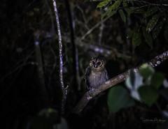 20190623-1DX27584 (siddharthx) Tags: bird canon dawn birding birdwatching bukitfraser badlight 2019 beautifulbirds birdsinthewild birdinginthewild dawntilldusk canon7dmkii bishopstrail ef100400mmf4556lisiiusm ef100400f4556isii canon1dxmkii 1dxmkii cottoncarrierg3 abusuraditrail congkakhululangat bukitfraserbirdwatchingrace forest lowlight malaysia pahang goldenhour hides frasershill my pinetreetrail kesslercrane kindersleytrail hemmanttrail maxwelltrail ef1635f4lis june2019 kesslerkwik wild sunrise trek rainforest wildlife selangor naturephotography pristine wildbirds weekendtrips wildlifephotography sachtler animalfanatics wildlifeseekers wildlifecaptures tamron150600mmf563divcusdg2 promediageartr424lpmgprostix wildlifecentral promediagearkatanajr rompintrail wimberleylensplates sungaiconkak owl brownwoodowl woodowl