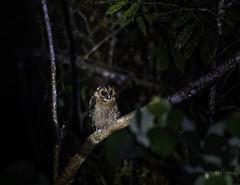 20190622-1DX27549 (siddharthx) Tags: bird canon dawn birding birdwatching bukitfraser badlight 2019 beautifulbirds birdsinthewild birdinginthewild dawntilldusk canon7dmkii bishopstrail ef100400mmf4556lisiiusm ef100400f4556isii canon1dxmkii 1dxmkii cottoncarrierg3 abusuraditrail congkakhululangat bukitfraserbirdwatchingrace forest lowlight malaysia pahang goldenhour pristine hides frasershill my pinetreetrail kesslercrane kindersleytrail hemmanttrail maxwelltrail ef1635f4lis june2019 kesslerkwik wild sunrise trek rainforest wildlife selangor naturephotography wildbirds weekendtrips wildlifephotography sachtler animalfanatics wildlifeseekers wildlifecaptures tamron150600mmf563divcusdg2 promediageartr424lpmgprostix wildlifecentral promediagearkatanajr rompintrail wimberleylensplates sungaiconkak brownwoodowl owl woodowl