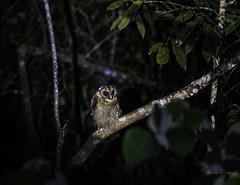 20190622-1DX27542 (siddharthx) Tags: bird canon dawn birding birdwatching bukitfraser badlight 2019 beautifulbirds birdsinthewild birdinginthewild dawntilldusk canon7dmkii bishopstrail ef100400mmf4556lisiiusm ef100400f4556isii canon1dxmkii 1dxmkii cottoncarrierg3 abusuraditrail congkakhululangat bukitfraserbirdwatchingrace forest lowlight malaysia pahang goldenhour hides frasershill my pinetreetrail kesslercrane kindersleytrail hemmanttrail maxwelltrail ef1635f4lis june2019 kesslerkwik wild sunrise trek rainforest wildlife selangor naturephotography pristine wildbirds weekendtrips wildlifephotography sachtler animalfanatics wildlifeseekers wildlifecaptures tamron150600mmf563divcusdg2 promediageartr424lpmgprostix wildlifecentral promediagearkatanajr rompintrail wimberleylensplates sungaiconkak owl brownwoodowl woodowl