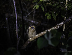 20190622-1DX27541 (siddharthx) Tags: bird canon dawn birding birdwatching bukitfraser badlight 2019 beautifulbirds birdsinthewild birdinginthewild dawntilldusk canon7dmkii bishopstrail canon1dxmkii 1dxmkii cottoncarrierg3 abusuraditrail congkakhululangat bukitfraserbirdwatchingrace forest lowlight malaysia pahang goldenhour hides frasershill my pinetreetrail kesslercrane kindersleytrail hemmanttrail maxwelltrail ef1635f4lis ef100400mmf4556lisiiusm ef100400f4556isii june2019 kesslerkwik wild sunrise trek rainforest wildlife selangor naturephotography pristine wildbirds weekendtrips wildlifephotography sachtler animalfanatics wildlifeseekers wildlifecaptures tamron150600mmf563divcusdg2 promediageartr424lpmgprostix wildlifecentral promediagearkatanajr rompintrail wimberleylensplates sungaiconkak owl brownwoodowl woodowl