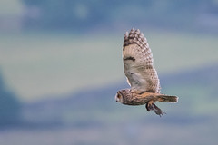 Long-eared Owl (Tim Melling) Tags: asio otus longeared owl west yorkshire timmelling