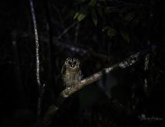 20190622-1DX27558 (siddharthx) Tags: bird canon dawn birding birdwatching bukitfraser badlight 2019 beautifulbirds birdsinthewild birdinginthewild dawntilldusk canon7dmkii bishopstrail ef100400mmf4556lisiiusm ef100400f4556isii canon1dxmkii 1dxmkii cottoncarrierg3 abusuraditrail congkakhululangat bukitfraserbirdwatchingrace forest lowlight malaysia pahang goldenhour hides frasershill my pinetreetrail kesslercrane kindersleytrail hemmanttrail maxwelltrail ef1635f4lis june2019 kesslerkwik wild sunrise trek rainforest wildlife selangor naturephotography pristine wildbirds weekendtrips wildlifephotography sachtler animalfanatics wildlifeseekers wildlifecaptures tamron150600mmf563divcusdg2 promediageartr424lpmgprostix wildlifecentral promediagearkatanajr rompintrail wimberleylensplates sungaiconkak owl brownwoodowl woodowl