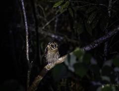 20190622-1DX27547 (siddharthx) Tags: bird canon dawn birding birdwatching bukitfraser badlight 2019 beautifulbirds birdsinthewild birdinginthewild dawntilldusk canon7dmkii bishopstrail ef100400mmf4556lisiiusm ef100400f4556isii canon1dxmkii 1dxmkii cottoncarrierg3 abusuraditrail congkakhululangat bukitfraserbirdwatchingrace forest lowlight malaysia pahang goldenhour pristine hides frasershill my pinetreetrail kesslercrane kindersleytrail hemmanttrail maxwelltrail ef1635f4lis june2019 kesslerkwik wild sunrise trek rainforest wildlife selangor naturephotography wildbirds weekendtrips wildlifephotography sachtler animalfanatics wildlifeseekers wildlifecaptures tamron150600mmf563divcusdg2 promediageartr424lpmgprostix wildlifecentral promediagearkatanajr rompintrail wimberleylensplates sungaiconkak owl brownwoodowl woodowl
