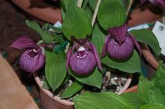 Cypripedium tibeticum (douneika) Tags: cypripedium tibeticum orchidea orchidaceae orquidea orchid orchidee taxonomy:family=orchidaceae taxonomy:binomial=cypripediumtibeticum