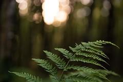 In the deep, dark wood (jillyspoon) Tags: bokeh light alittlelight darkforest dark woodlandwalk monreith scotland primelens 85 sonyalpha sony dof depthoffield forestry forest woodland wood fern