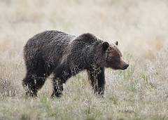 Grizzly Sow (ashockenberry) Tags: ashleyhockenberryphotography animal wildlife wildlifephotography wild wilderness west eco reserve travel tourism grassland grazing habitat kananaskis majestic mountains mammal beautiful beauty alberta grizzly bear canada canadianwildlife powerful sow forest nature naturephotography natural native vacation