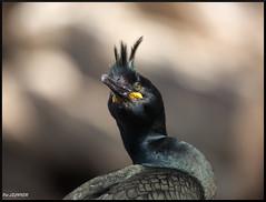 cormoran huppé portrait (pat lechner) Tags: cormoran huppé cormoranhuppé varanger norvège hornøya vardø