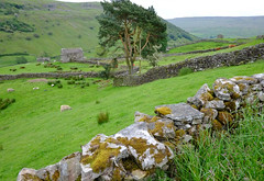 Yorkshire Dales.. (Adam Swaine) Tags: swaine swaledale stonewall fields england english englishlandscapes rural counties countryside sheep beautiful nationalparks northyorkshire yorkshire northeast uk ukcounties county country trees walks aonb 2019 barns