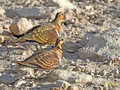 Ganga ibérica (Pterocles alchata)  (164) (eb3alfmiguel) Tags: aves pteroclidiformes pteroclidae ganga ibérica pterocles alchata roca hierba pájaro animal suelo arena