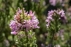 Erica 2019-04-01 (5D_32A2377) (ajhaysom) Tags: erica flower mttomah bluemountains australia canoneos5dmkiii canon100mmlmacro 100flowers2019 image62100