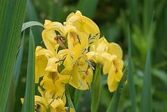 The Flag And The Grass. (tony allan tony allan) Tags: yellowflag grass flower green m42 manualfocus macro legacyglass helios85210mmmacrolens nikond80